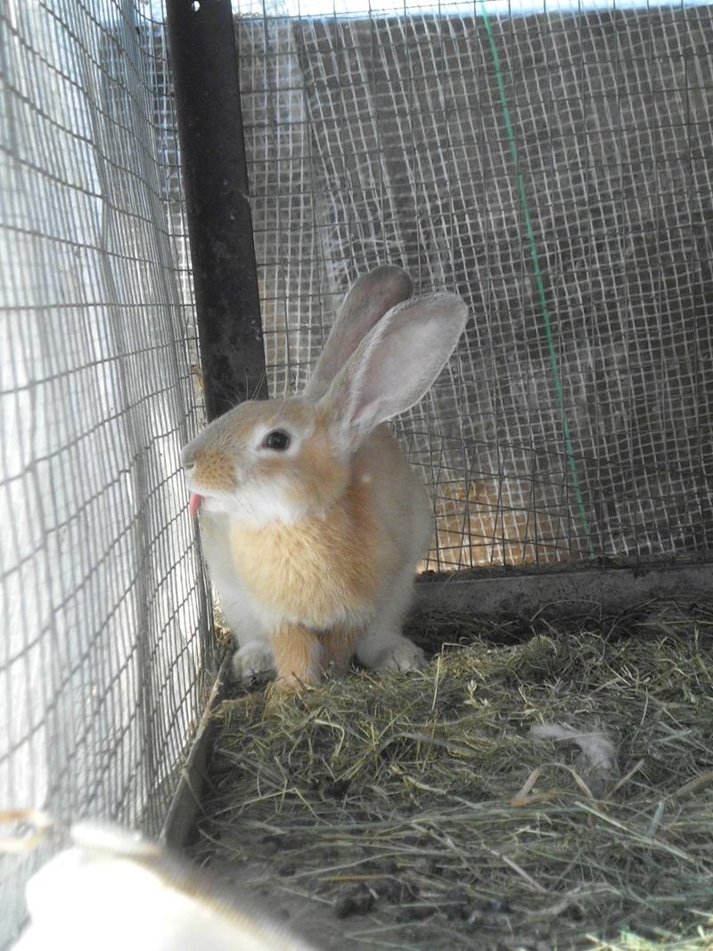 Откорм кроликов перед забоем
